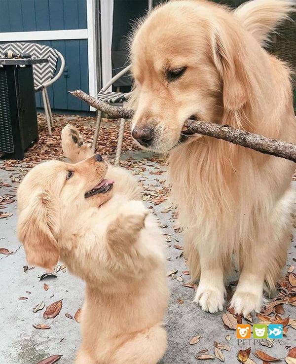 Dành thời gian chơi đùa với chó cưng cũng là cách để chó bớt gặm đồ lung tung