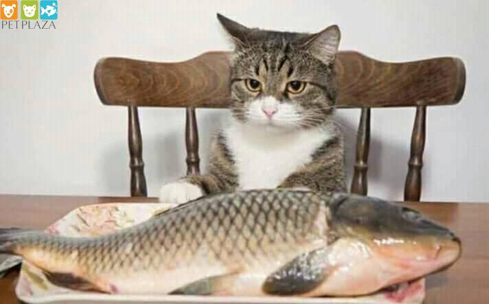 9 lưu ý phổ biến cần tránh khi cho mèo ăn - thức ăn cho mèo Pet plaza