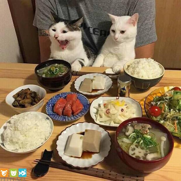 9 lưu ý phổ biến cần tránh khi cho mèo ăn