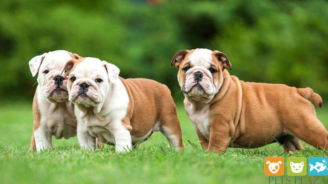 Phân biệt Chó Bull Anh và Bull Pháp