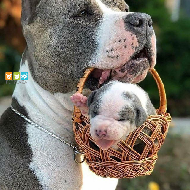 Chó pitbull thú cưng được yêu thích