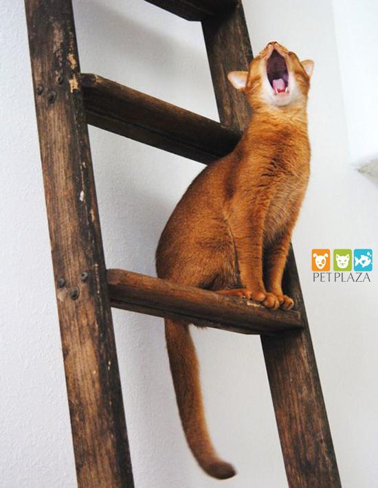 Cách nuôi mèo Abyssinian - phụ kiện thú cưng