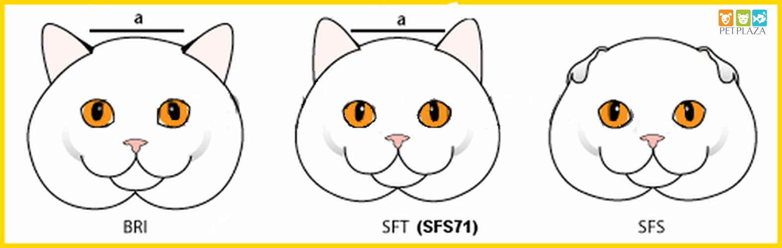 Cách phân biệt mèo ALN và mèo Scottish