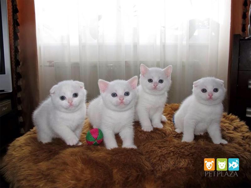 Đố các bạn đây là giống mèo tai cụp màu trắng hay silver? Vì sao?