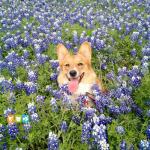 Giống Chó Corgi – Tìm hiểu nguồn gốc, bảng giá, đặc điểm và cách nuôi chó corgi