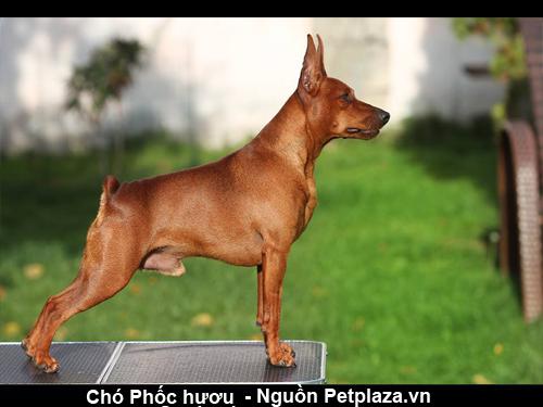Chó Phốc hươu (chó Phốc hay chó fox)