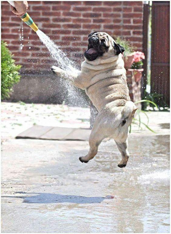 Tìm hiểu giống chó Pug mặt xệ tại Petplaza