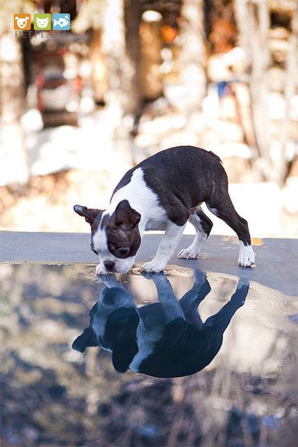 Chó sục Boston Terrier - Phụ kiện thú cưng chó mèo Pet Plaza