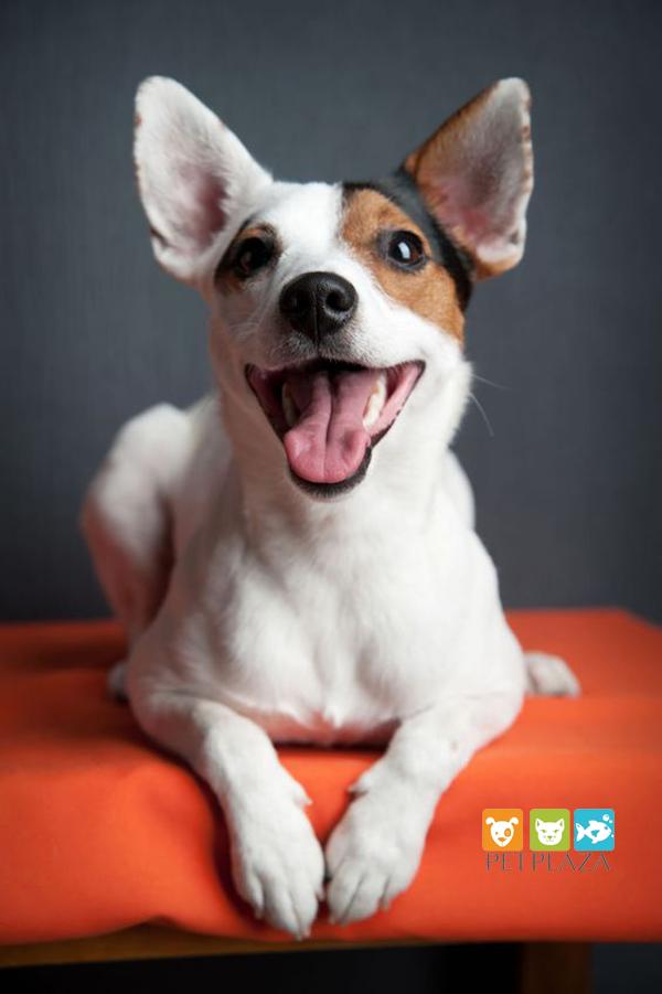 Chó sục cáo cảnh Toy Fox Terrier