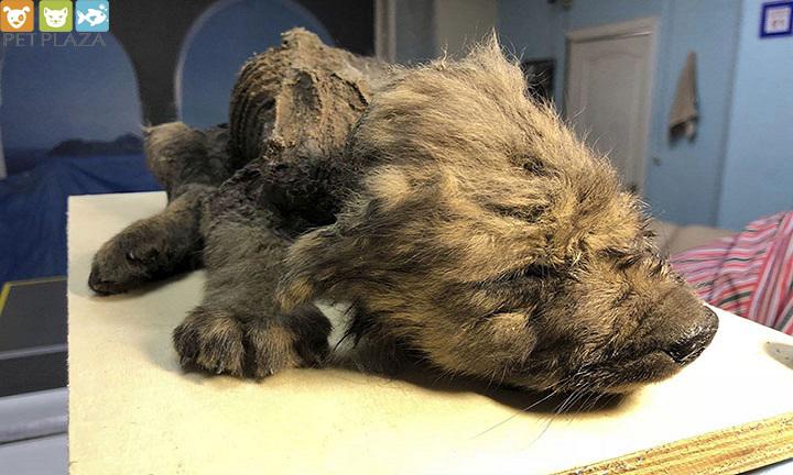 Chú chó nhỏ còn nguyên lông bị đông cứng 12.000 năm - Phụ kiện thú cưng Pet Plaza
