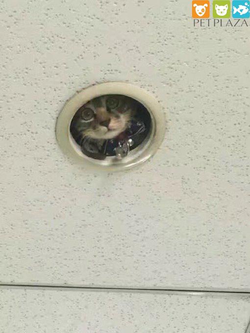 Chú mèo giám sát - phụ kiện chó mèo petplaza