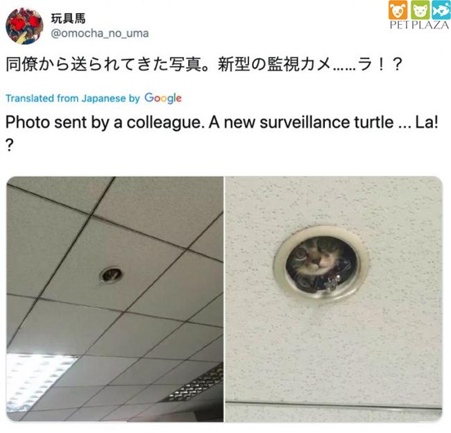 """Nhân viên văn phòng tìm hiểu một """" chú mèo giám sát """"đã lén lút theo dõi họ- phụ kiện thú cưng Pet plaza"""