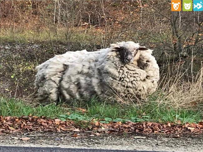 Chú sói phải tránh xa em cừu Maggie vì có bộ lông quá hôi - phụ kiện thú cưng Pet Plaza