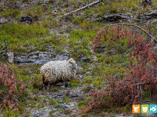 Chú sói phải tránh xa em cừu Maggie vì có bộ lông quá hôi - phụ kiện chó mèo Pet Plaza