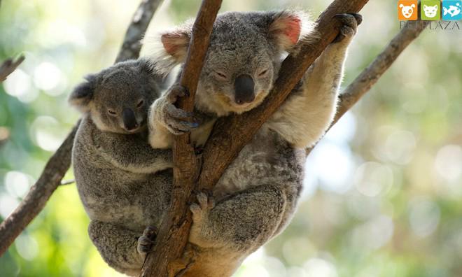 Hơn 350 em koala có thể bỏ mạng trong trận cháy rừng- Phụ kiện thú cưng PetPlaza