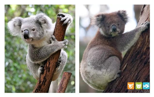 Hơn 350 em koala có thể bỏ mạng trong trận cháy rừng- Phụ kiện chó mèo PetPlaza