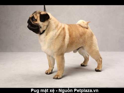 Đặc điểm cơ thể của giống chó Pug thuần chủng