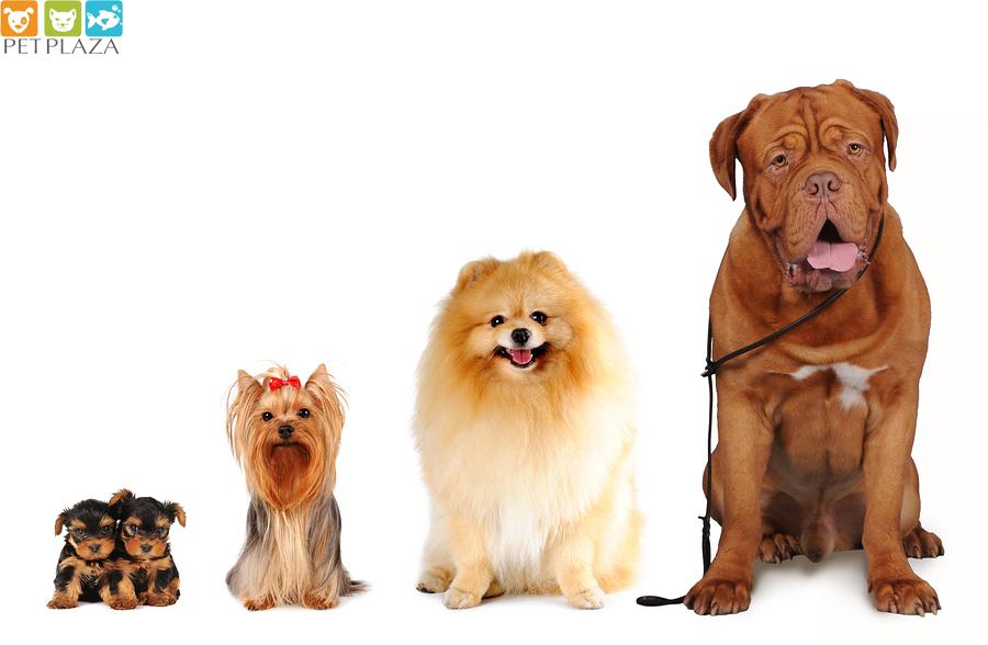 4 giai đoạn phát triển của chó: chó con, thiếu niên, trưởng thành, lớn tuổi (hình minh họa)