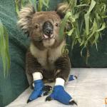 Gấu túi koala 1300koalaz - phụ kiện thú cưng pet plaza