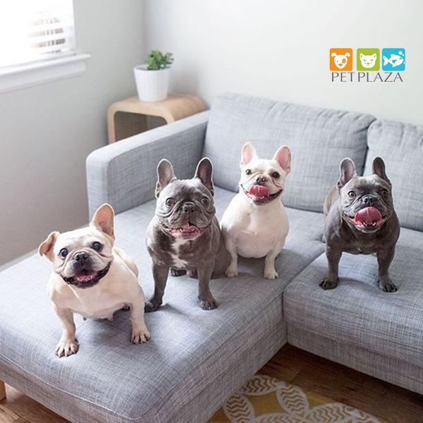 Giống chó Pug Mặt xệ - Giống chó dành cho người bận rộn