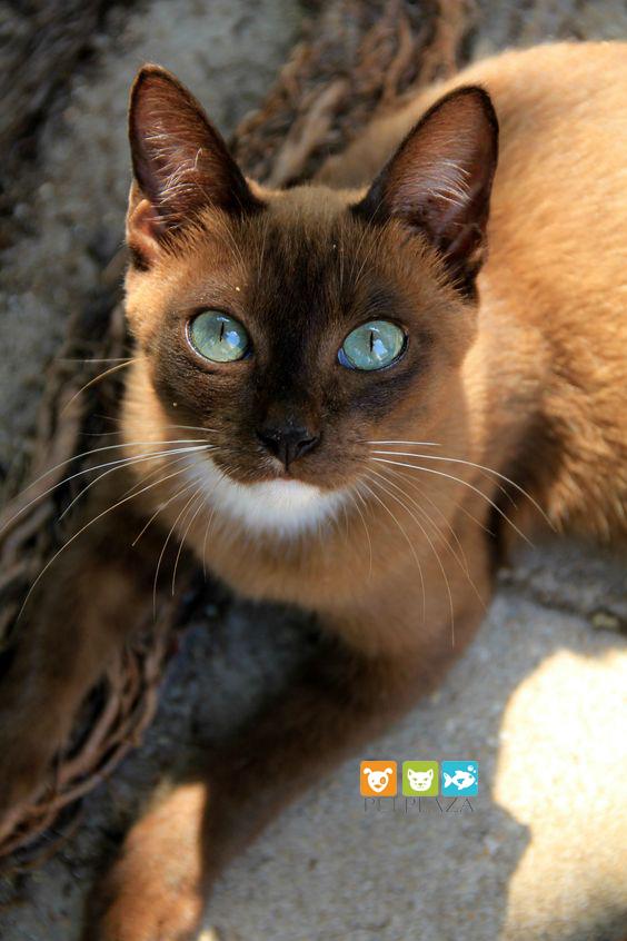 Đôi mắt giống mèo Abyssinian