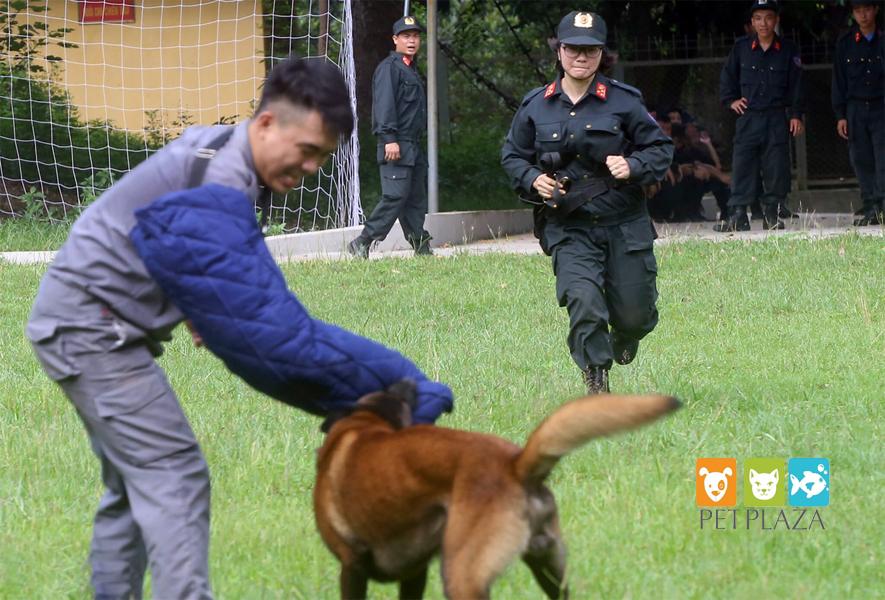 Huấn luyện chó béc bỉ - PetPlaza