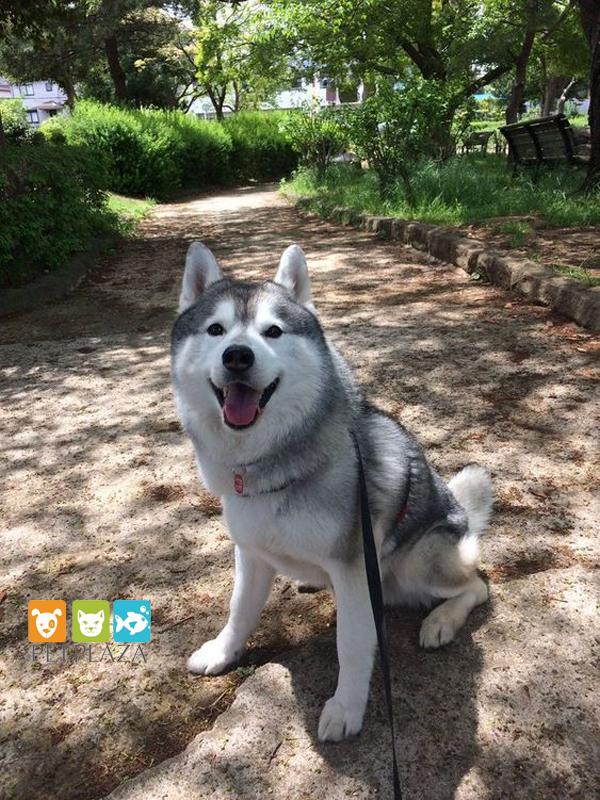Husky và thức ăn cho chó royal canin - phụ kiện thú cưng