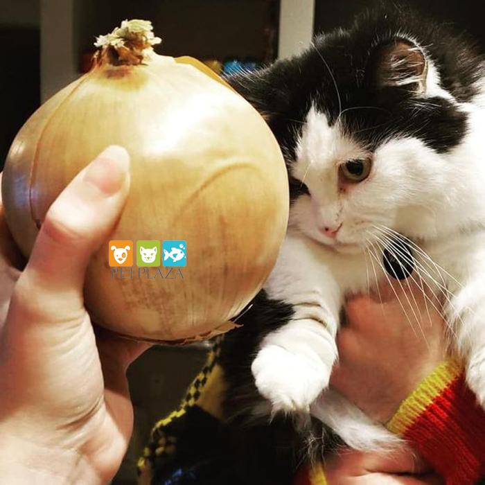 Không nên cho mèo ăn hành - phụ kiện chó mèo pet plaza