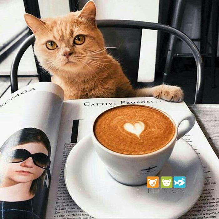 Không nên cho mèo uống cà phê - phụ kiện thú cưng pet plaza