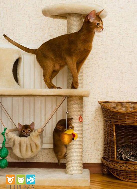 Lịch sử giống mèo Abyssinian - phụ kiện thú cưng