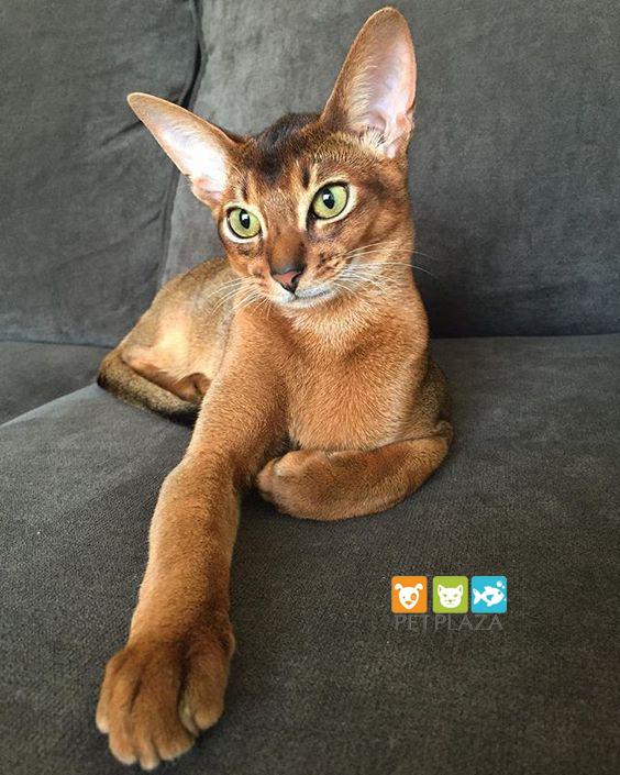 giống mèo Abyssinian - phụ kiện thú cưng chó mèo Pet plaza