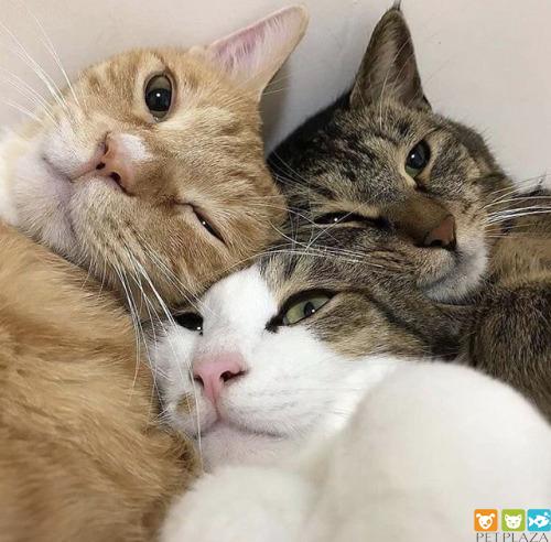"""Mèo ăn mặn là """"khóc"""" - Phụ kiện thú cưng Pet Plaza"""