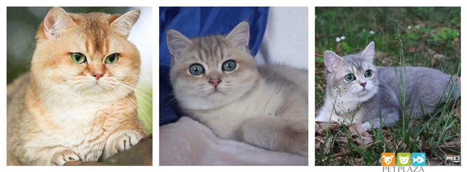Mèo anh lông ngắn ALN - Phụ kiện thú cưng PetPlaza
