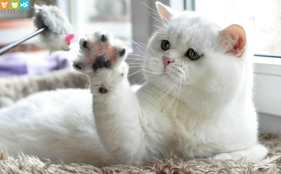 Mèo anh lông ngăn British shorthair silver chinchilla ns 12 - Dorian Snezhny Bar * RU