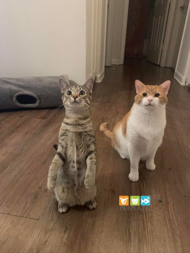 Mèo đánh nhau và cách giữ hòa bình giữa những hoàng thượng