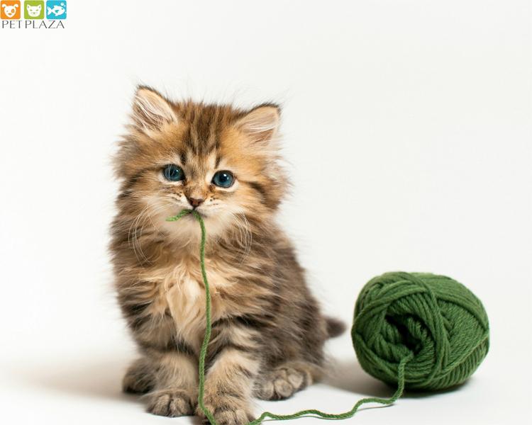 Mèo nuốt phải sợi dây hay sợi chỉ, Sen cần phải làm gì? - phụ kiện chó mèo