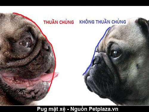 Phần đầu của chó Pug thuần chủng