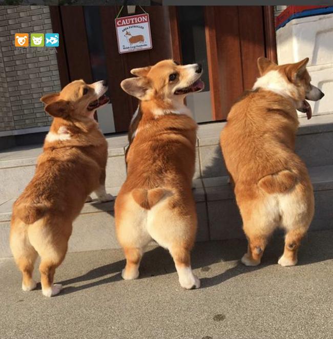 Phân loại chó Corgi - phụ kiện chó mèo Pet Plaza