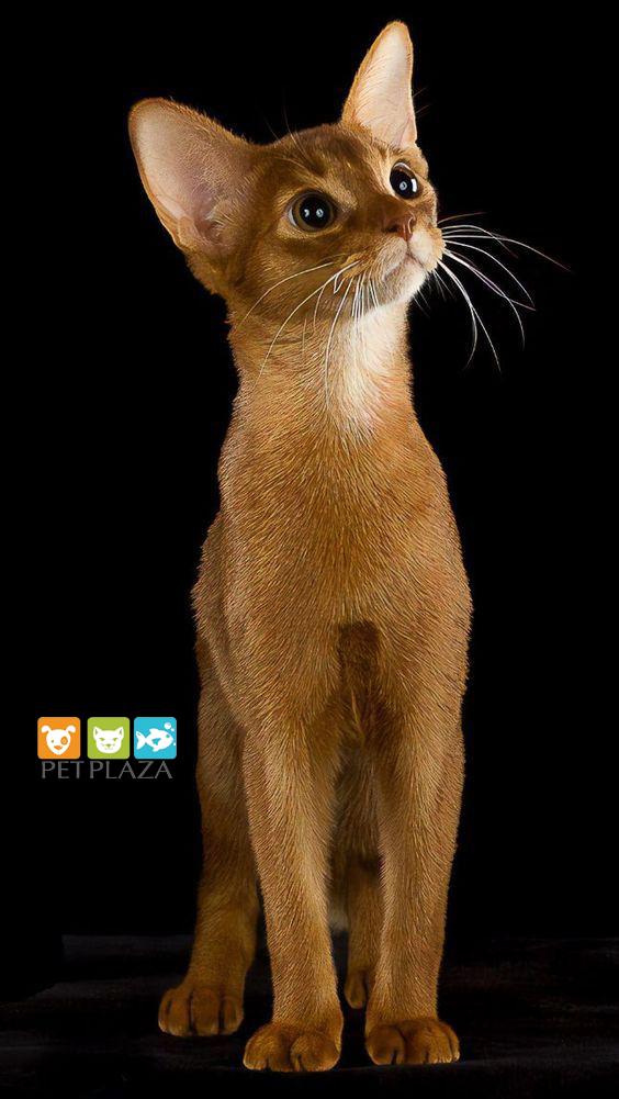 cách chăm sóc mèo Abyssinian - phụ kiện thú cưng Pet Plaza
