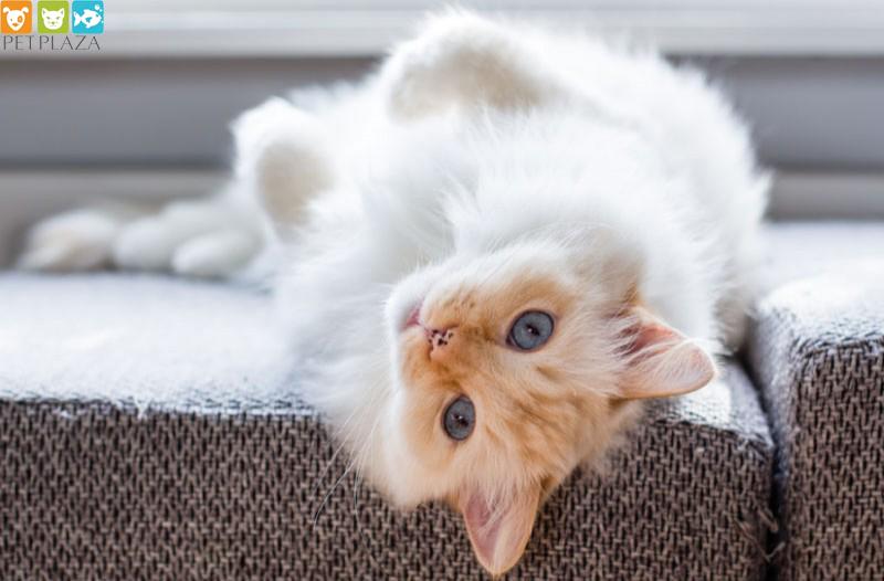 Tư vấn dinh dưỡng cho mèo phụ kiện thú cưng Petplaza