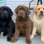 Thức ăn royal canin cho chó - Pet Plaza